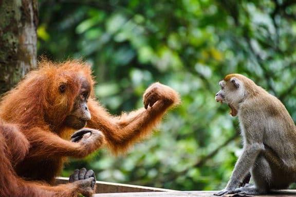 orangutan_monkey
